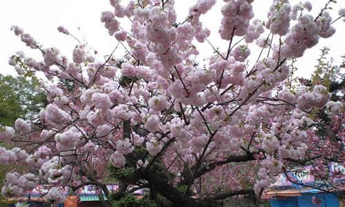 辛うじて咲いていた桜(その2)