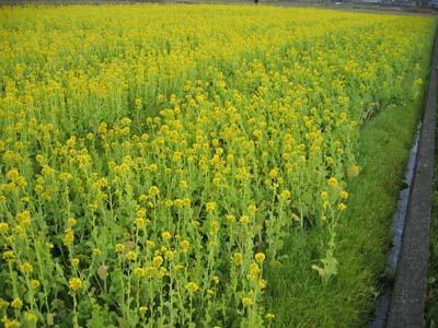 松島 菜の花 (1).jpg