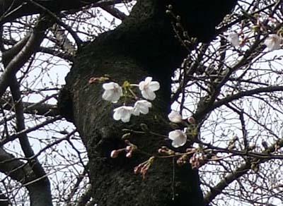 桜開花 (34)-2.jpg