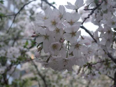 天神の桜 (22).jpg