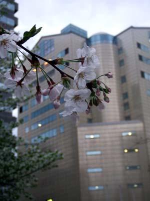 天神の桜 (26).jpg