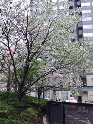 天神の桜 (27).jpg