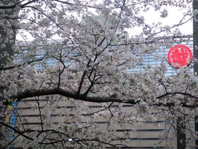 天神の桜 (30).jpg