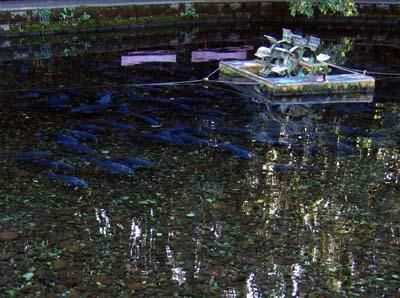 泉の鯉.jpg