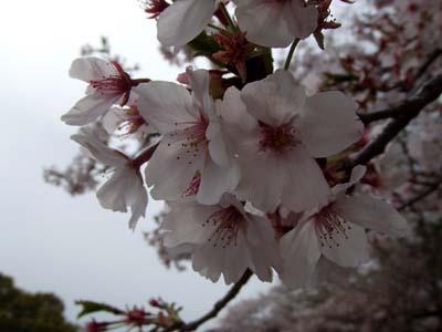 サクラの咲く公園.jpg
