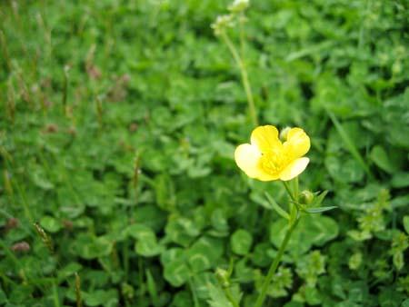 四葉の草 450.jpg