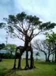 ガジュマルの木。