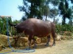 由布島水浴び牛。
