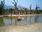 由布島水に浸かる牛。