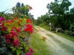 鳩間島花。