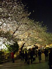 桜満開!夜桜をたしなむ。
