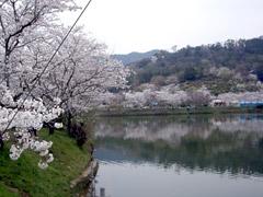 福岡の桜の名所☆秋月の桜と甘木公園でお花見♪