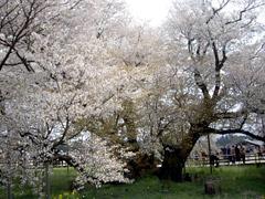 まだまだ花見が楽しめる!阿蘇の一心行の大桜♪