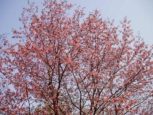 2006_0516桜