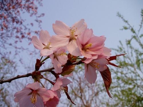 2006_0516桜-2