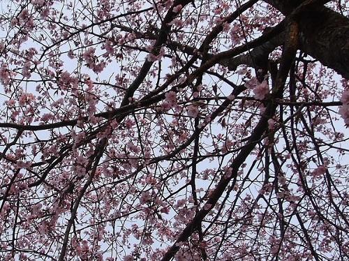 2006_0516桜-3