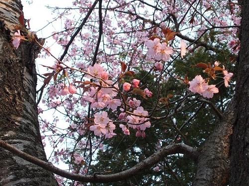 2006_0516桜-4