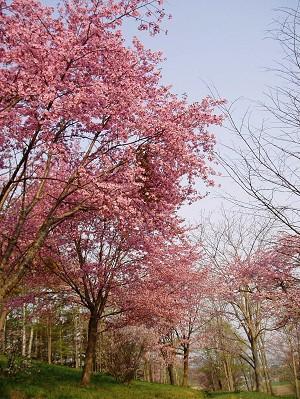 2006_0518桜-2