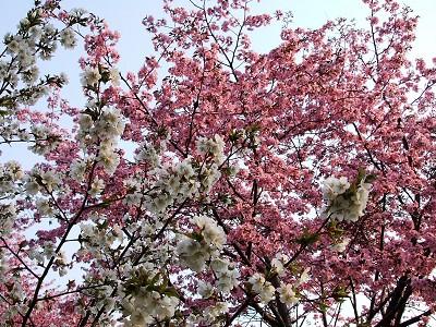 2006_0518桜-3