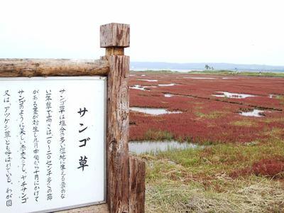 サンゴ草群生地1