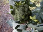 060703broccoli