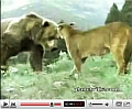 Cougar vs bear.jpg