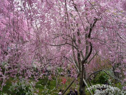 原谷苑のしだれ桜