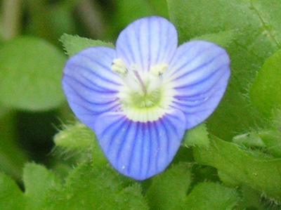 オオイヌノフグリ〔大犬の陰嚢〕の花