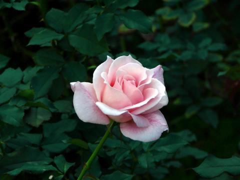 Bridal Pink01