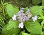 保育所の近くで咲いていたアジサイです。
