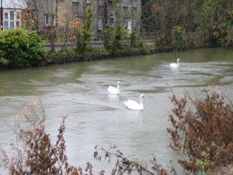 オックスフォードの白鳥