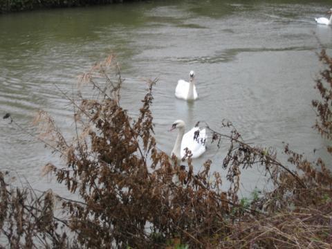 オックスフォードの白鳥2