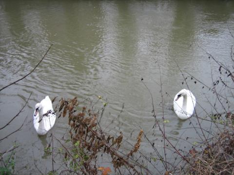 オックスフォードの白鳥3