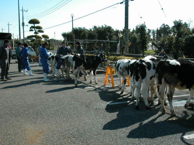 出品牛整列