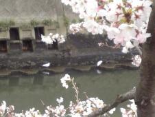 桜とかもめ