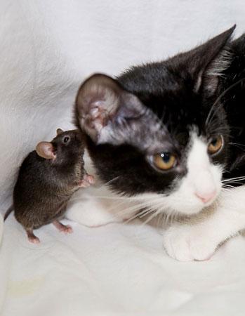 遺伝子操作で猫を怖がらないマウス
