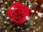 りこたんのバラ