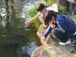 鯉に餌付けする菊と桜