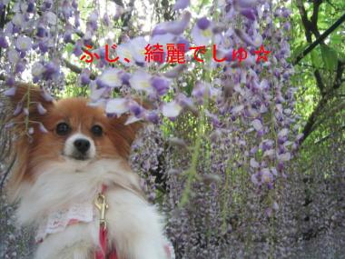 fujidanasakura11.jpg