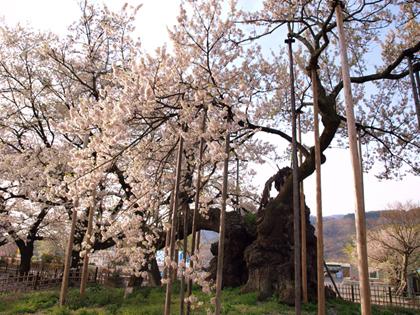 山梨県北杜市山高の神代桜