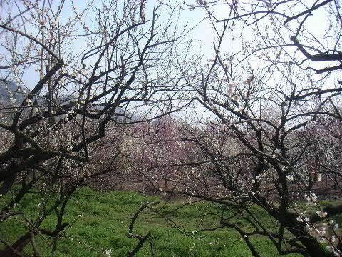曽我梅林の梅
