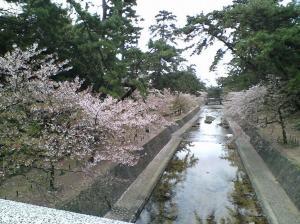 2008年4月11日の夙川さくら