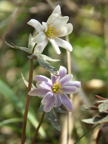 白と紫のユキワリイチゲ