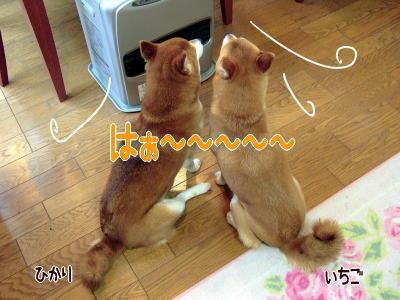 日本犬のプライドはどこへ…?
