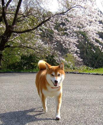 美桜と美柴犬