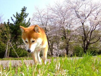 桜もひかりもきれ~