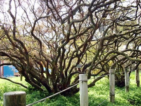ヤマツツジの巨木