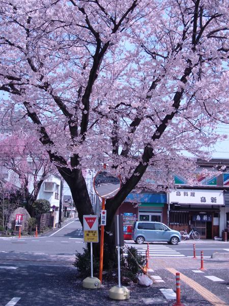 秩父市役所裏の桜の木