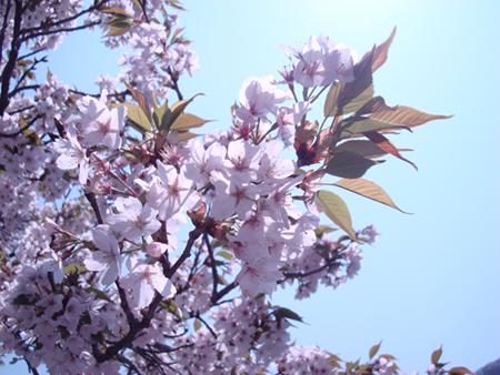 秩父湖岸に咲くさくら