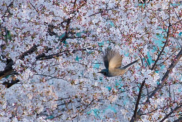 桜と鳥01